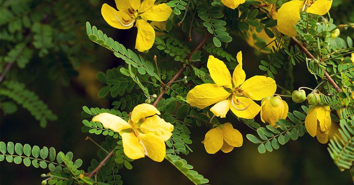 Senna Tea: Benefits, Weight Loss, and Precautions